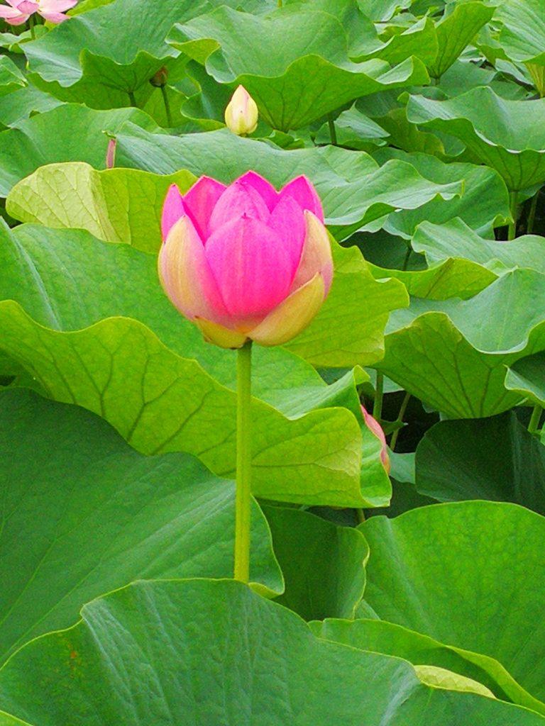 ハスの花1